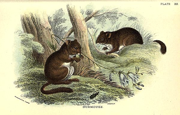 BRITISH MAMMAL 1896 DOORMOUSE