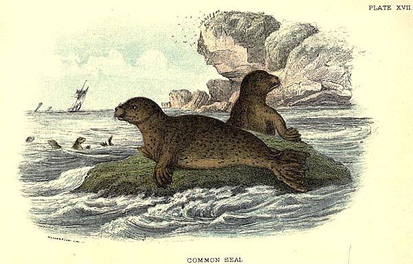 BRITISH MAMMAL 1896 COMMON SEAL