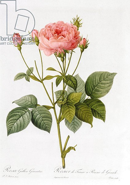 Rosa Gallica Granatus, from 'Les Roses', vol II, 1821