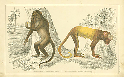 Постер Royal Howler, Golden-tailed Howler