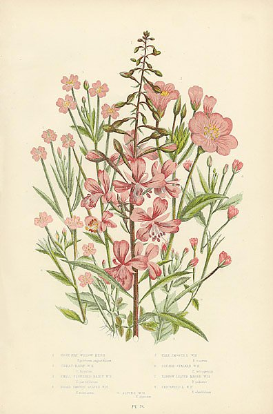 Rose-bay Willow Herb, Great Hairy w.h., Broad Smooth Leaved w.h., Pale Smooth w.h., Square Stalked w