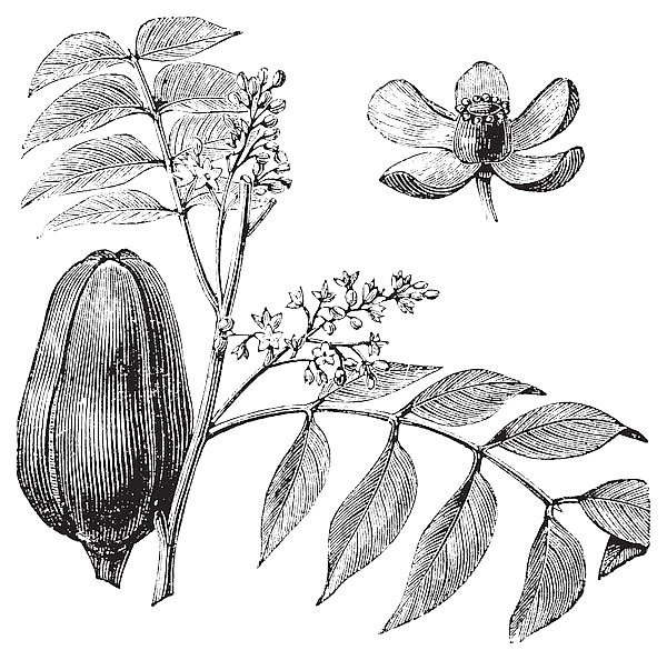 Mohagany or Meliaceae. Melia azedarach illustration