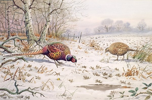 Pheasant and Partridge Eating