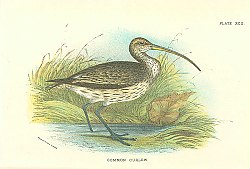 Постер Common Curlew