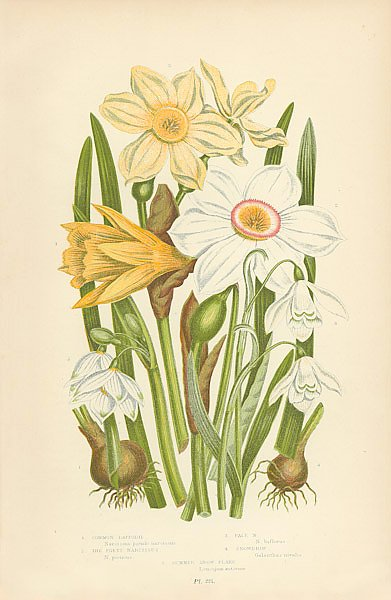 Common Daffodil, The Poets Narcissus, Pale n., Snowdrop, Summer Snow Flake