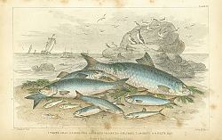 Постер Twaite Shad, Herrings, Sprats or Garvies, Pilchard, Anchovy, White Bait