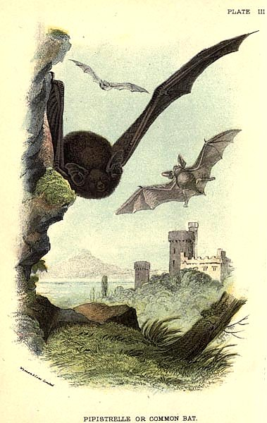 BRITISH MAMMAL 1896 COMMON BAT