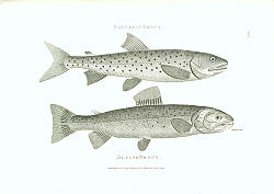 Постер Salvelin Trout, Alpine Trout
