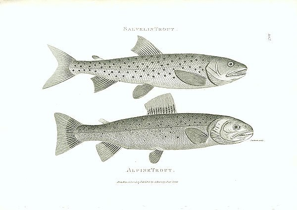 Salvelin Trout, Alpine Trout