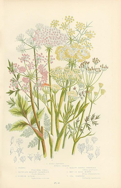 Fennel, Mountain Meadow-saxifrange, Scottish Lovage, Meadow Pepper-saxifrage, Meu or Rald-money, Sea
