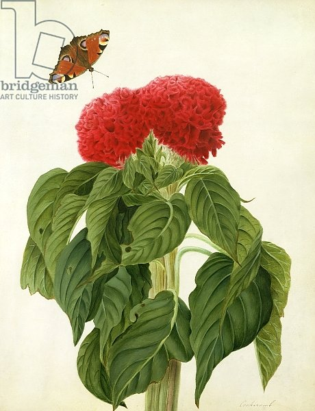 Celosia Argentea Cristata and Butterfly