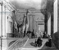 Постер Шарф Джордж (грав) Giraffes on the staircase in the British Museum, 1845