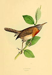 Постер Bar-throated Wren