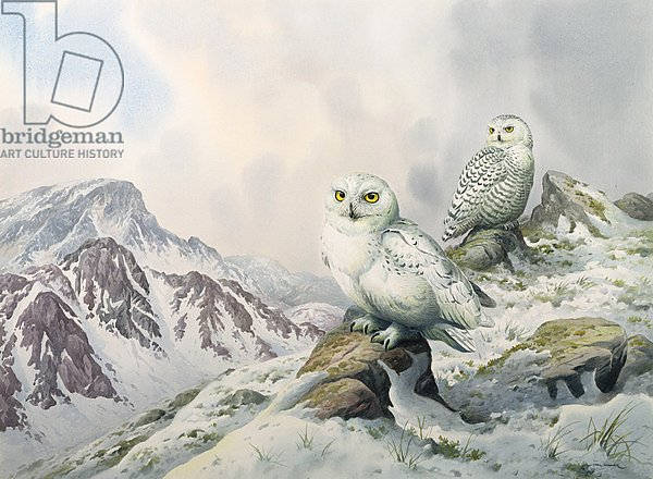 Pair of Snowy Owls in the Snowy Mountains, Australia