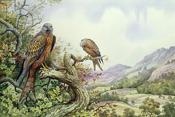 Pair of Red Kites in an Oak Tree,