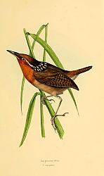 Постер Red breasted Wren