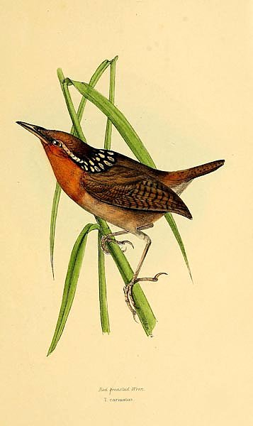 Red breasted Wren