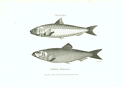 Постер Pilchard, Common Herring