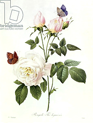 Постер Редюти Пьер Rosa: Bengale the Hymenes, from 'Les Roses', 19th century