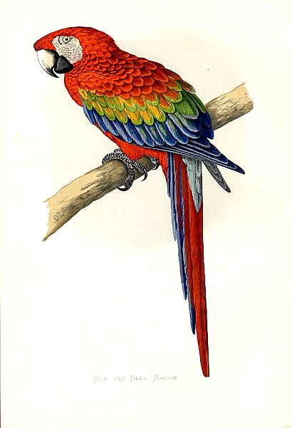 Red and Blue Macaw 2
