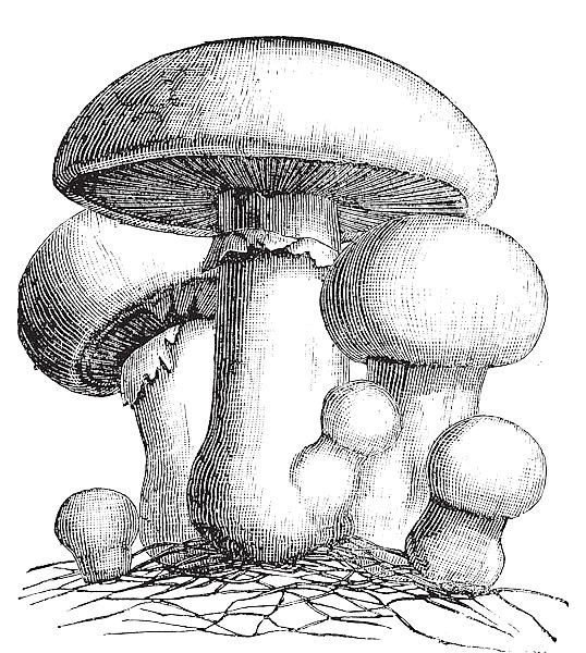 Agaricus campestris or meadow mushroom engraving