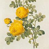 Копии гравюр с розами редут