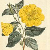 Копии гравюр с цветами из журнала Curtis