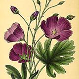 Копии гравюр с цветами из журнала Paxton's