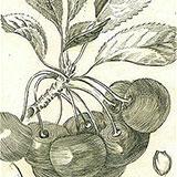 Копии гравюр с цветами из журнала Traite Des Arbres Fruitiers