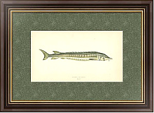 Постер Common Sturgeon