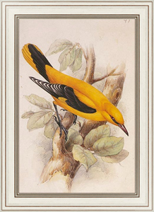Постер-гравюра Golden Oriole (male)