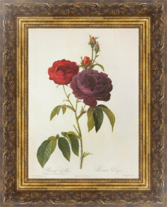 Постер Rosa Gallica L. 'The Bishop'