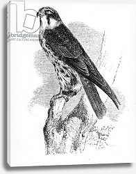 Постер Ярелл Уильям (птицы) The Hobby, illustration from 'A History of British Birds' by William Yarrell, first published 1843