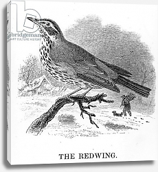 Постер Ярелл Уильям (птицы) The Redwing, illustration from 'A History of British Birds' by William Yarrell, first published 1843