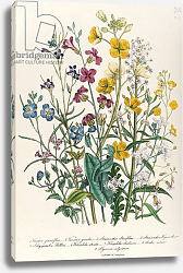 Постер Лудон Джейн (бот) Forget-me-nots and Buttercups, plate 13 from 'The Ladies' Flower Garden', published 1842