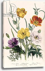 Постер Лудон Джейн (бот) Poppies and Anemones, plate 5 from 'The Ladies' Flower Garden', published 1842