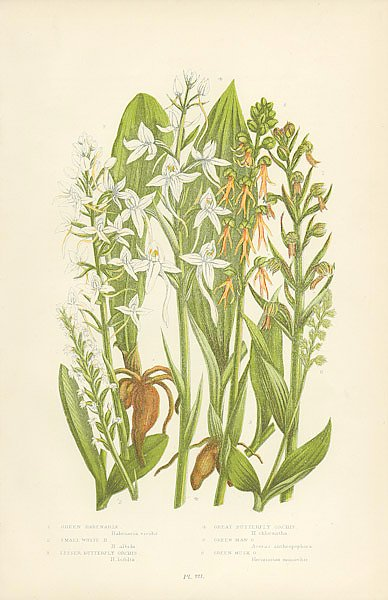 Green Habenaria, Small White h., Lesser Butterfly Orchis, Great Butterfly Orchis, Green Man o., Gree
