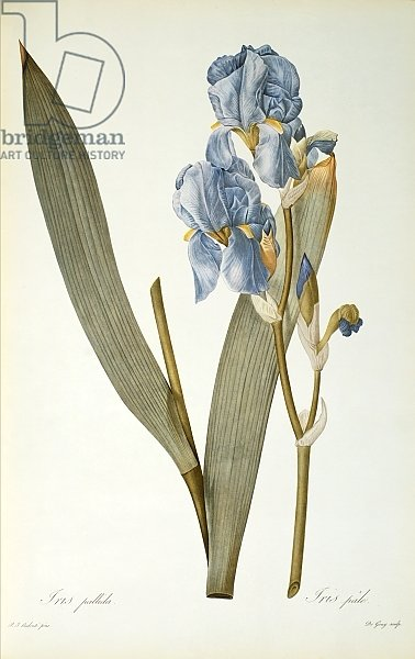 Iris Pallida, from `Les Liliacees', 1812