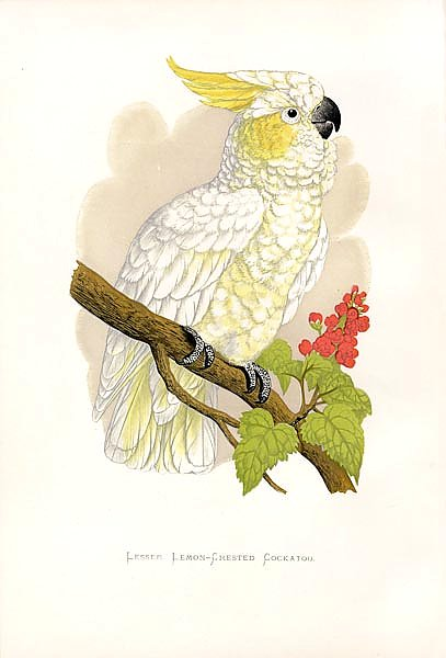 Lesser Lemon-Crested Cockatoo