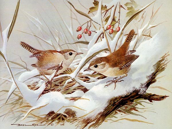 British Birds - Wren