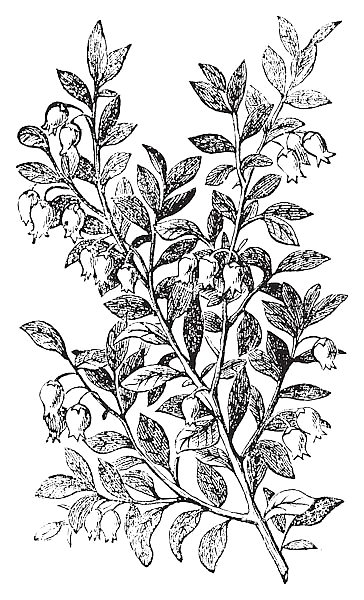 Bilberry, whortleberry or Vaccinium myrtillus engraving
