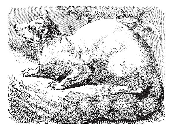 Постер Ringtail or Ring-tailed Cat or Bassariscus astutus vintage engraving