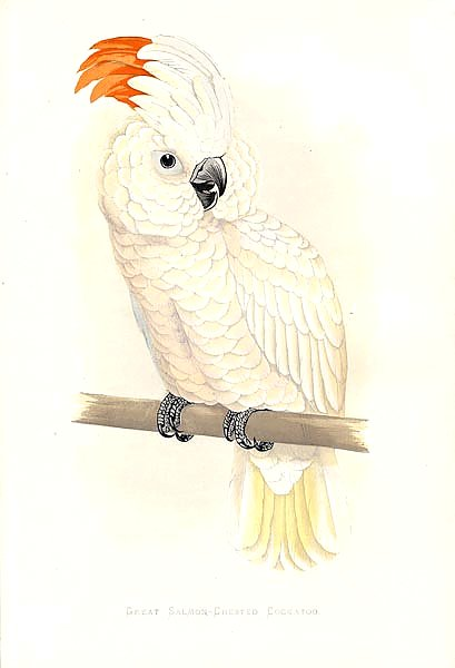 Great Salmon-Crested Cockatoo