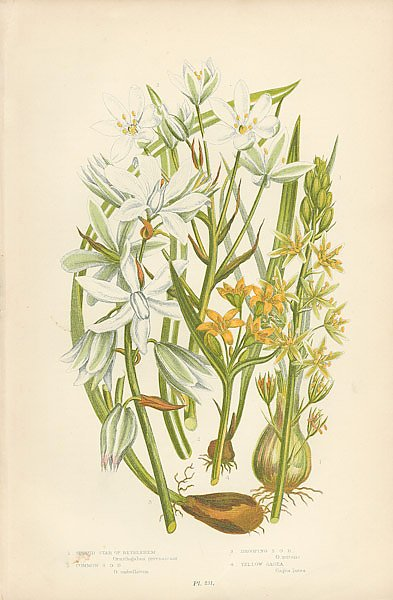 Spiked Star of Bethlehem, Common s.o.b., Drooping s.o.b., Yellow Gagea
