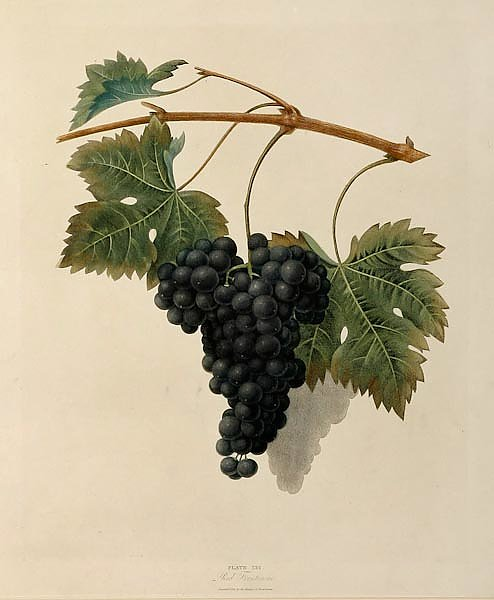 Grapes - Red Frontiniac