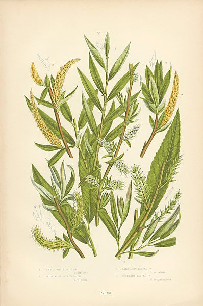 Common White Willow, Yellow w. or Golden Osier, Dark Long Leaved w., Rosemary Leaved w.