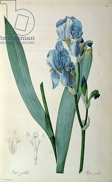 Iris Pallida, from `Les Liliacees', 1805