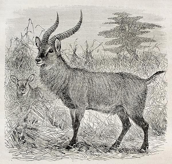 Waterbuck - Kobus ellipsiprymnus - in Uganda. Created by Wolff, published on Le Tour du Monde, Paris
