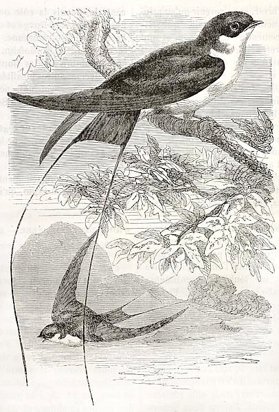 Wire-tailed Swallow old illustration (Hirundo smithii). Created by Kretschmer, published on Merveill