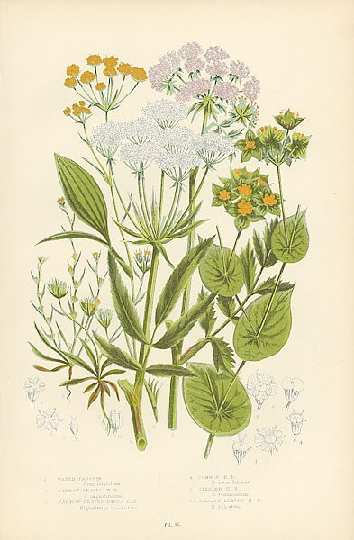 Water-parsnip, Narrow-leaved w.p., Narrow-leaved Hares ear, Common h.e., Slender h. e., Falcate-leav